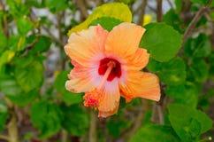 Πορτοκαλί κινεζικό Hibiscus λουλούδι Στοκ Εικόνες