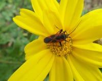 Πορτοκαλί & μαύρο ζωύφιο στη γύρη του φωτεινού κίτρινου λουλουδιού στοκ φωτογραφίες