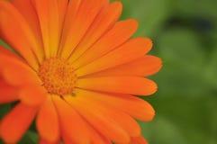 Πορτοκαλί μικροσκοπικό λουλούδι Στοκ Φωτογραφίες
