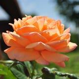 Πορτοκαλί μπουμπούκι τριαντάφυλλου με τα leafes Στοκ Εικόνα