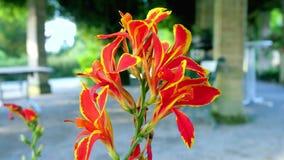 Πορτοκαλί λουλούδι και όμορφος απόθεμα βίντεο