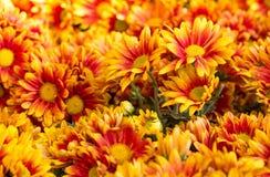 Πορτοκαλί λουλούδι μαργαριτών χρυσάνθεμων Στοκ Φωτογραφία