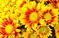 Πορτοκαλί λουλούδι μαργαριτών χρυσάνθεμων Στοκ φωτογραφία με δικαίωμα ελεύθερης χρήσης