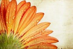 Πορτοκαλί λουλούδι μαργαριτών gerbera κινηματογραφήσεων σε πρώτο πλάνο Στοκ Εικόνες