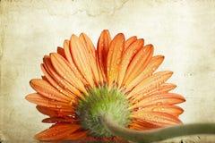 Πορτοκαλί λουλούδι μαργαριτών gerbera κινηματογραφήσεων σε πρώτο πλάνο Στοκ εικόνα με δικαίωμα ελεύθερης χρήσης