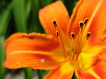 Πορτοκαλί λουλούδι με τα stamens στοκ εικόνα