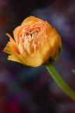 Πορτοκαλί λουλούδι νεραγκουλών στοκ εικόνα