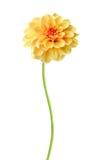 Πορτοκαλί λουλούδι νταλιών Στοκ Φωτογραφίες
