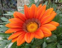 Πορτοκαλί λουλούδι πλήρους άνθισης στα πράσινα φύλλα στοκ εικόνα