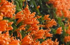 Πορτοκαλί λουλούδι σαλπίγγων σειράς Στοκ φωτογραφίες με δικαίωμα ελεύθερης χρήσης