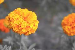Πορτοκαλί λουλούδι σε γραπτό Στοκ Εικόνες