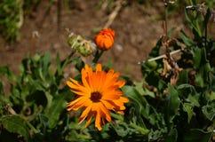 Πορτοκαλί λουλούδι σε Chimborazo, Ισημερινός Στοκ Φωτογραφία