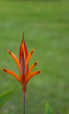 Πορτοκαλί λουλούδι στον κήπο Στοκ Φωτογραφίες