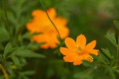 Πορτοκαλί λουλούδι στο sideroad Στοκ Εικόνα