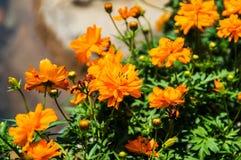 Πορτοκαλί λουλούδι την ηλιόλουστη ημέρα Στοκ Φωτογραφία