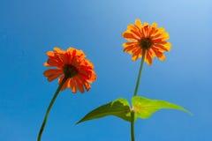 Πορτοκαλί λουλούδι της Daisy Στοκ Φωτογραφία