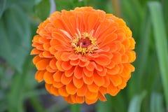 Πορτοκαλί λουλούδι ~ της Zinnia σχεδόν τέλειο Στοκ Εικόνες