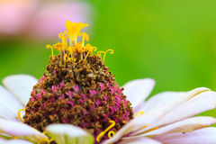 Πορτοκαλί λουλούδι της Zinnia στοκ φωτογραφίες με δικαίωμα ελεύθερης χρήσης