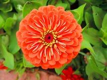 Πορτοκαλί λουλούδι της Zinnia Στοκ Φωτογραφίες