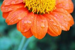 Πορτοκαλί λουλούδι της Zinnia Στοκ Εικόνες