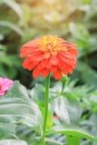 Πορτοκαλί λουλούδι της Zinnia Στοκ φωτογραφία με δικαίωμα ελεύθερης χρήσης