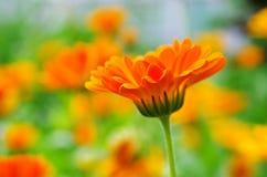 Πορτοκαλί λουλούδι. Στοκ Εικόνες