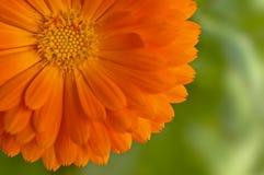 Πορτοκαλί λουλούδι Στοκ εικόνες με δικαίωμα ελεύθερης χρήσης