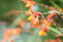 Πορτοκαλί λουλούδι Στοκ εικόνα με δικαίωμα ελεύθερης χρήσης