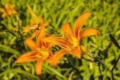 Πορτοκαλί λουλούδι Στοκ Εικόνες