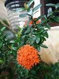 Πορτοκαλί λουλούδι Στοκ Εικόνα