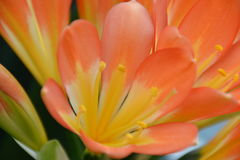 Πορτοκαλί λουλούδι Στοκ Φωτογραφία