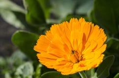 Πορτοκαλί λουλούδι. Calendula Στοκ Εικόνα