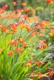 Πορτοκαλί λουλούδι croscomia Στοκ Εικόνα