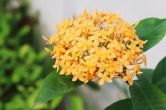 Πορτοκαλί λουλούδι Ixora Στοκ Φωτογραφίες