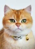 Πορτοκαλί πορτρέτο γατών Στοκ φωτογραφία με δικαίωμα ελεύθερης χρήσης