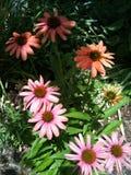 πορτοκαλί ροζ μαργαριτών στοκ εικόνες