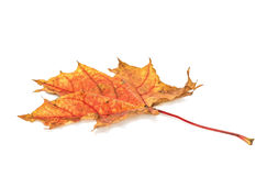 Πορτοκαλί φύλλο σφενδάμου φθινοπώρου Στοκ Εικόνες