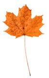 Πορτοκαλί φύλλο σφενδάμου στοκ φωτογραφίες με δικαίωμα ελεύθερης χρήσης