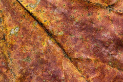 Πορτοκαλί φύλλο σφενδάμου Στοκ Εικόνες