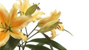 Πορτοκαλί χρόνος-σφάλμα λουλουδιών κρίνων απόθεμα βίντεο