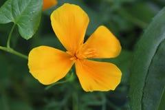 Πορτοκαλί όμορφο λουλούδι τέσσερις-φύλλων στοκ εικόνα