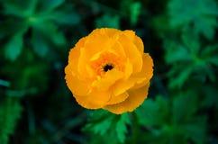 Πορτοκαλί altaicus Trollius στοκ φωτογραφίες