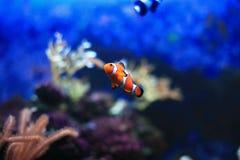 Πορτοκαλί Anemonefish Στοκ Φωτογραφίες