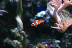 Πορτοκαλί Anemonefish Στοκ Εικόνες