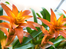 Πορτοκαλί Bromeliaceae Στοκ Εικόνα