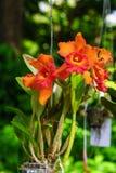 Πορτοκαλί Cattleya με το σκουριασμένος-κόκκινο χειλικό λουλούδι Στοκ εικόνες με δικαίωμα ελεύθερης χρήσης
