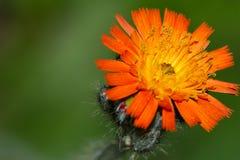 Πορτοκαλί Fireweed Στοκ Εικόνες