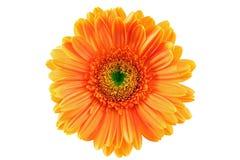 Πορτοκαλί gerbera Στοκ φωτογραφίες με δικαίωμα ελεύθερης χρήσης
