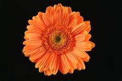 Πορτοκαλί gerbera Στοκ Εικόνες