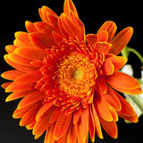 Πορτοκαλί gerbera Στοκ εικόνα με δικαίωμα ελεύθερης χρήσης